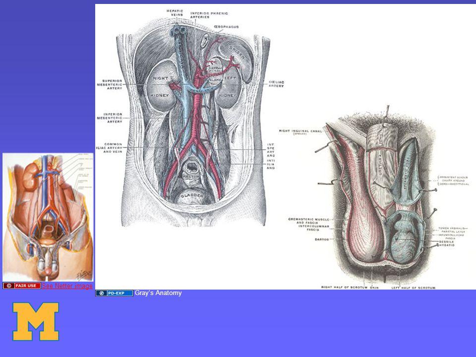 See Netter image Gray's Anatomy