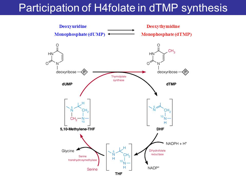 Participation of H4folate in dTMP synthesis
