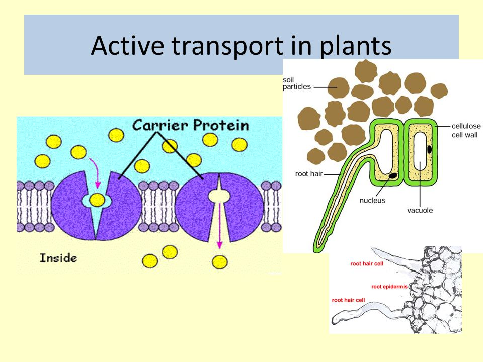 Active transport in plants