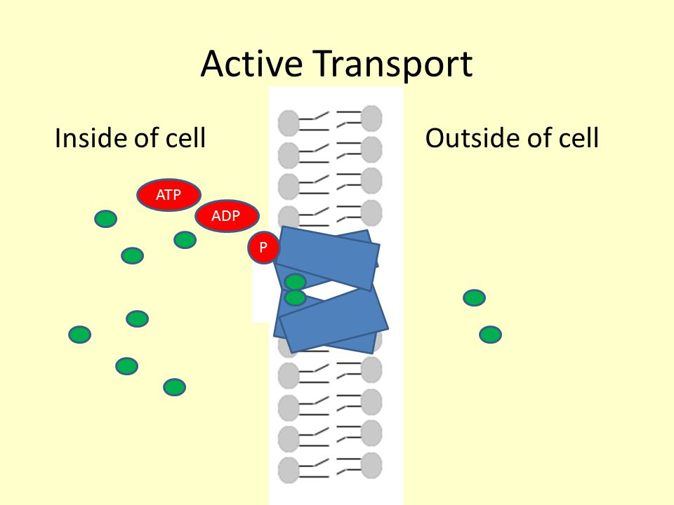 Active Transport Inside of cell Outside of cell ATP ADP P