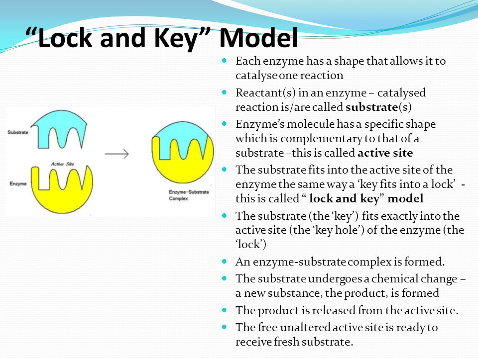 Lock and Key Model Each enzyme has a shape that allows it to catalyse one reaction.