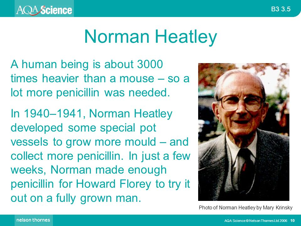 Norman Heatley A human being is about 3000 times heavier than a mouse – so a lot more penicillin was needed.