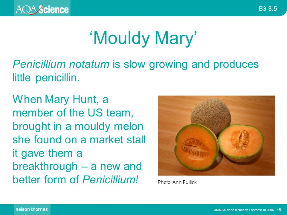 'Mouldy Mary' Penicillium notatum is slow growing and produces little penicillin.