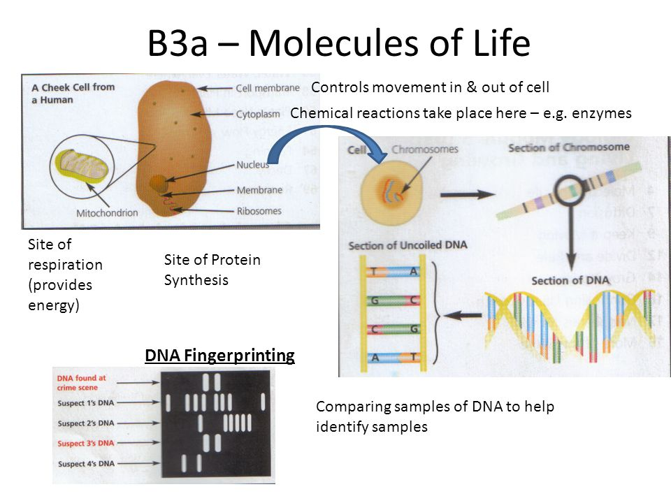 B3a – Molecules of Life DNA Fingerprinting