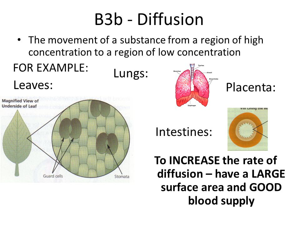B3b - Diffusion Lungs: Leaves: Placenta: Intestines: FOR EXAMPLE: