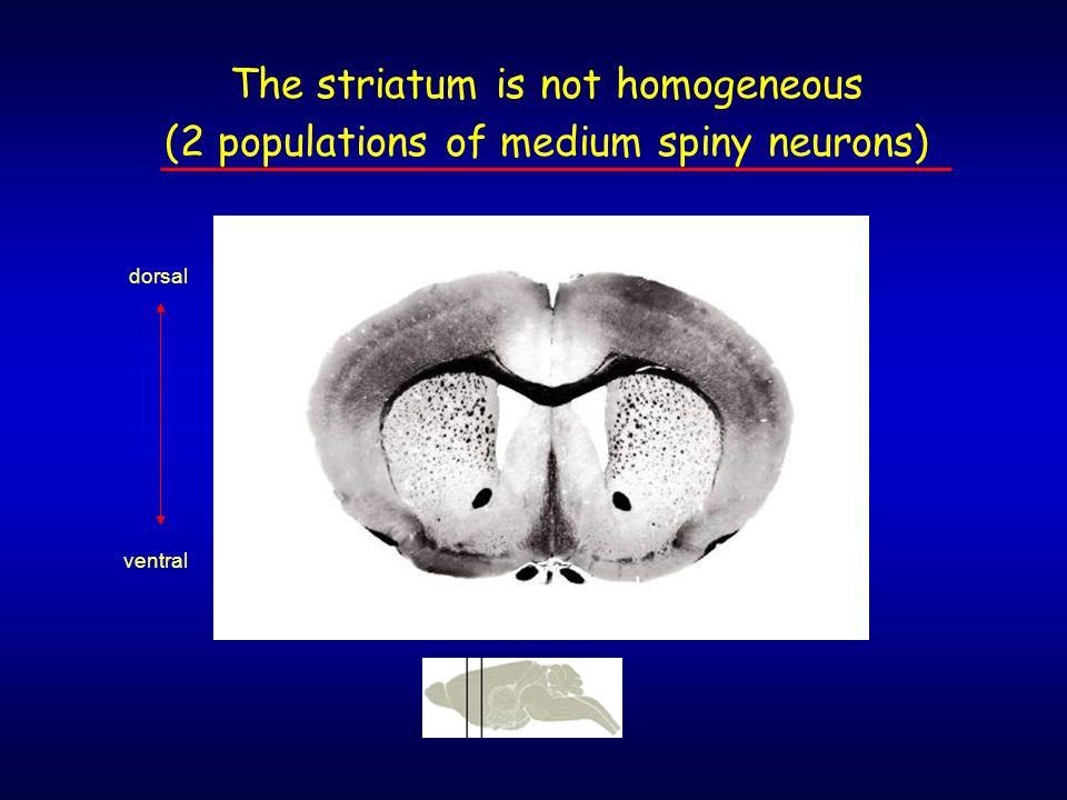 The striatum is not homogeneous