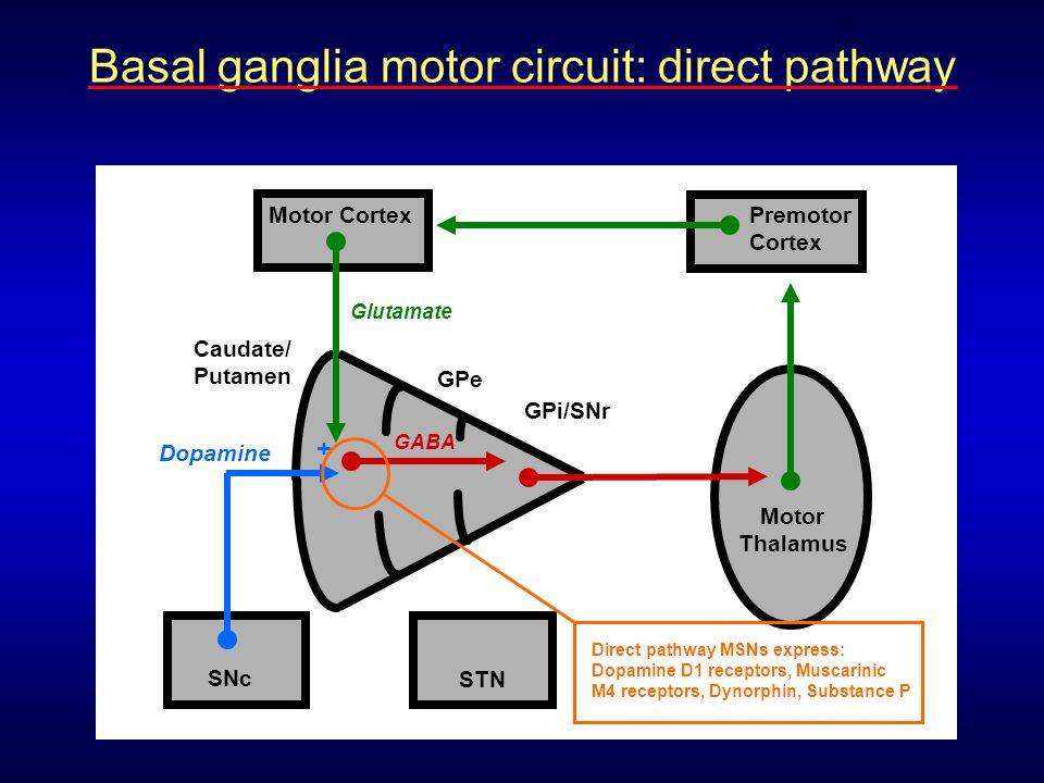 Basal ganglia motor circuit: direct pathway