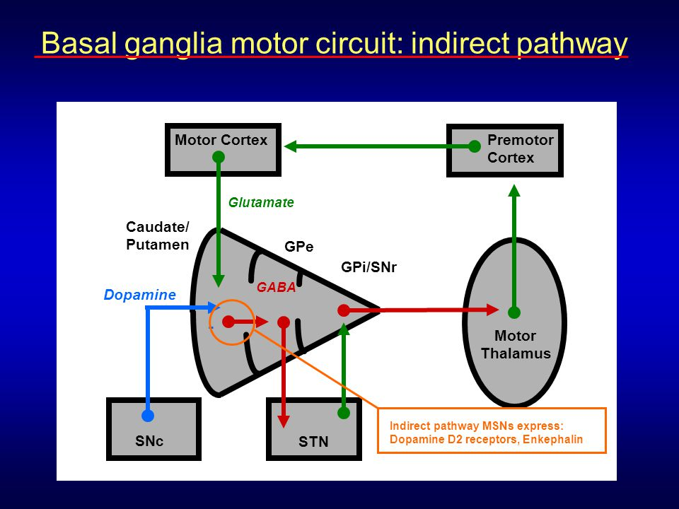 Basal ganglia motor circuit: indirect pathway