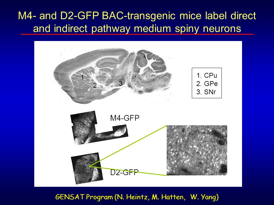 M4- and D2-GFP BAC-transgenic mice label direct