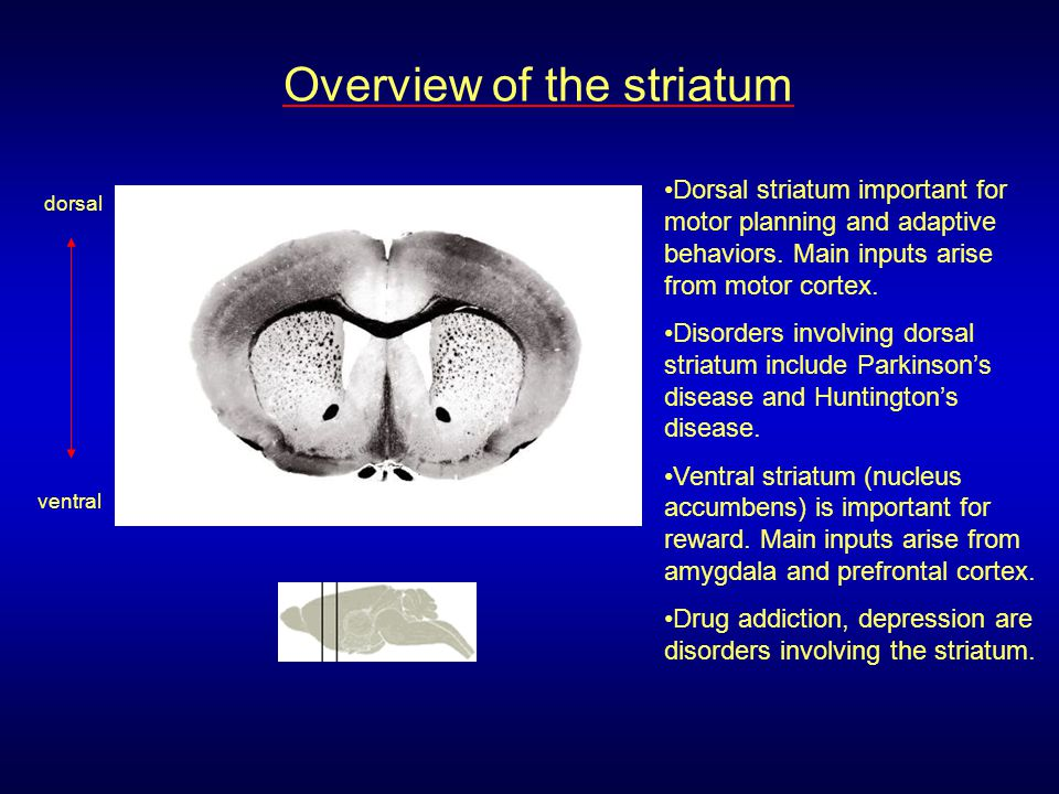 Overview of the striatum
