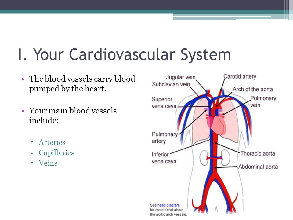 I. Your Cardiovascular System