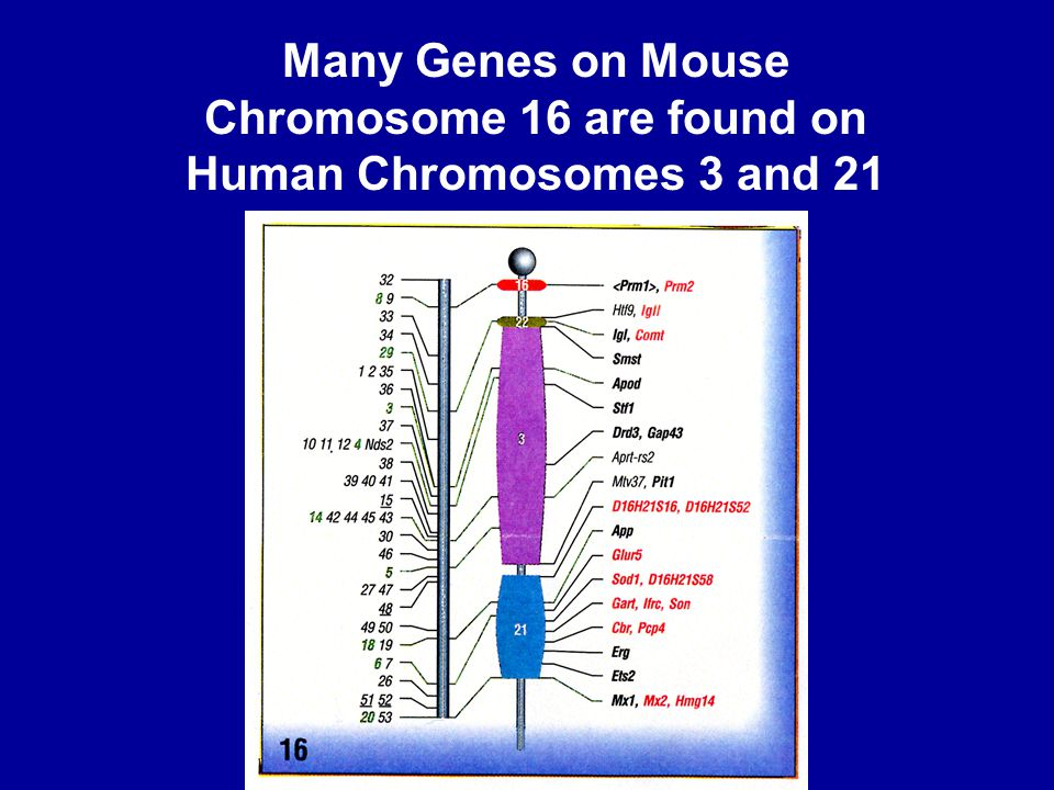 Many Genes on Mouse Chromosome 16 are found on Human Chromosomes 3 and 21