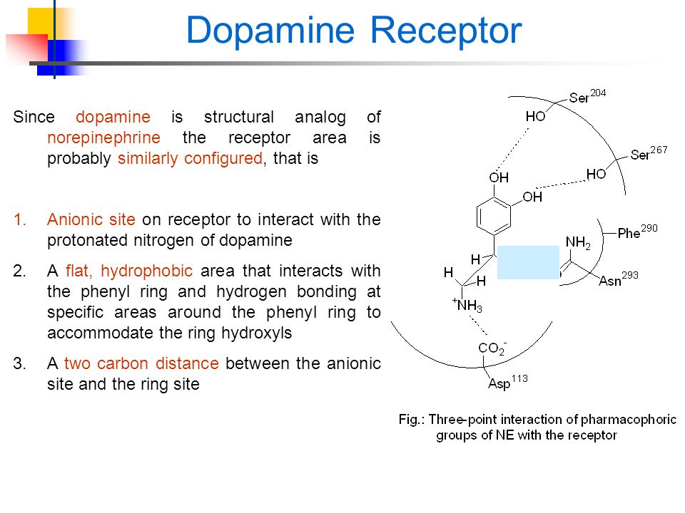 Dopamine Receptor Since dopamine is structural analog of norepinephrine the receptor area is probably similarly configured, that is.