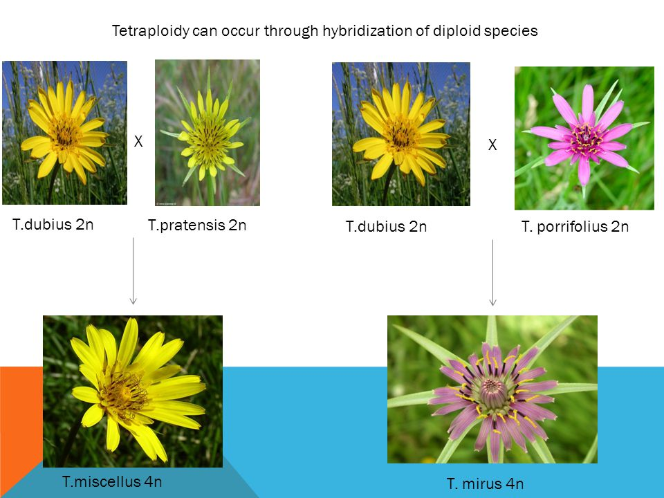 Tetraploidy can occur through hybridization of diploid species