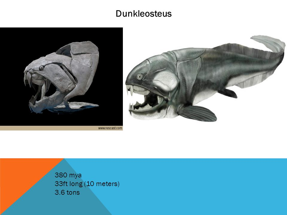 Dunkleosteus 380 mya 33ft long (10 meters) 3.6 tons
