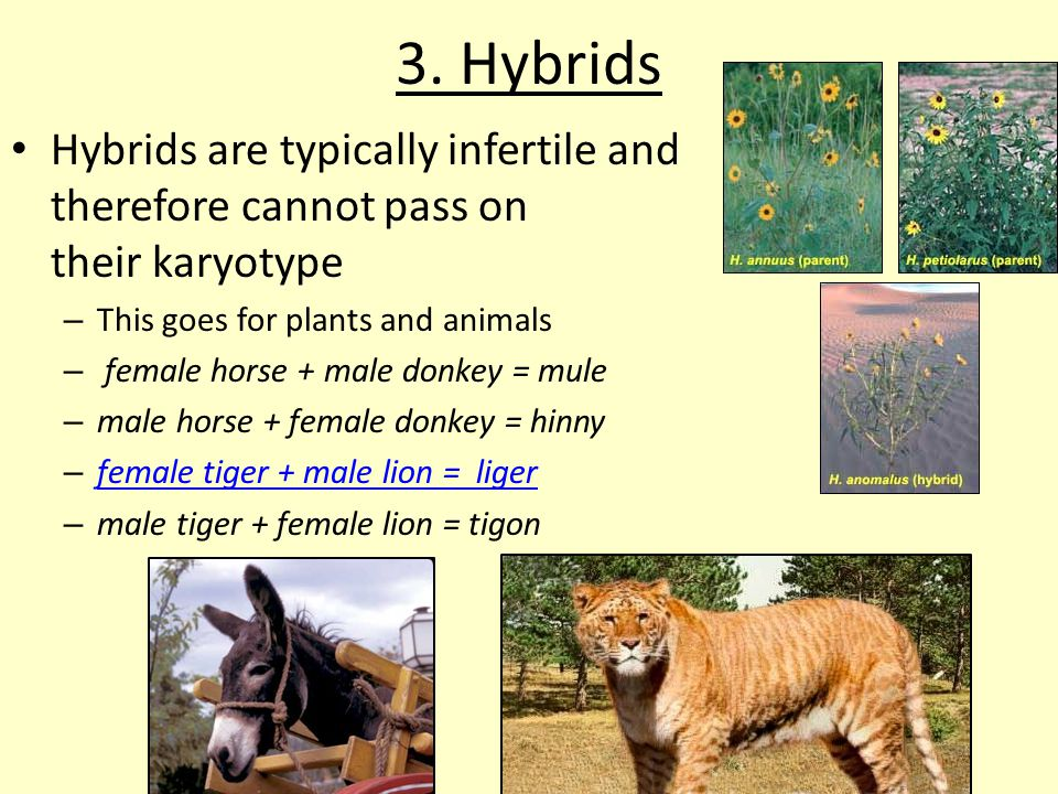 3. Hybrids Hybrids are typically infertile and therefore cannot pass on their karyotype.