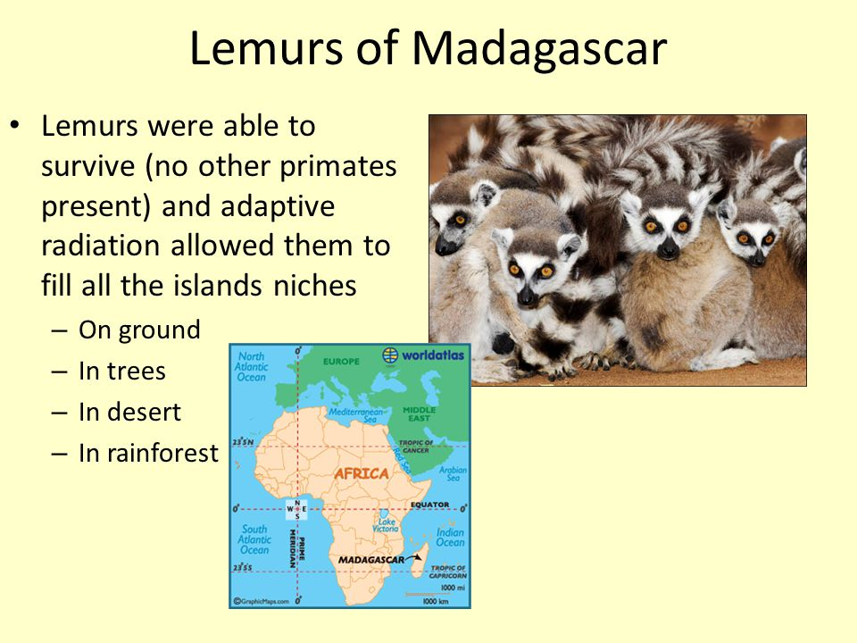 Lemurs of Madagascar Lemurs were able to survive (no other primates present) and adaptive radiation allowed them to fill all the islands niches.