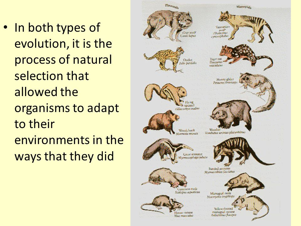 In both types of evolution, it is the process of natural selection that allowed the organisms to adapt to their environments in the ways that they did