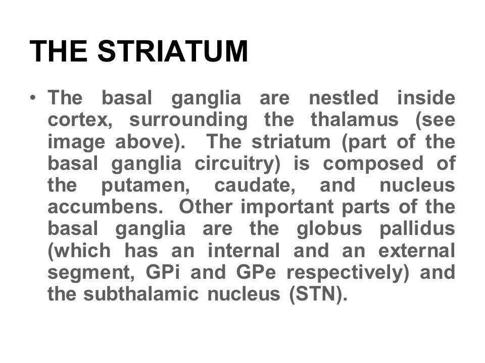 THE STRIATUM