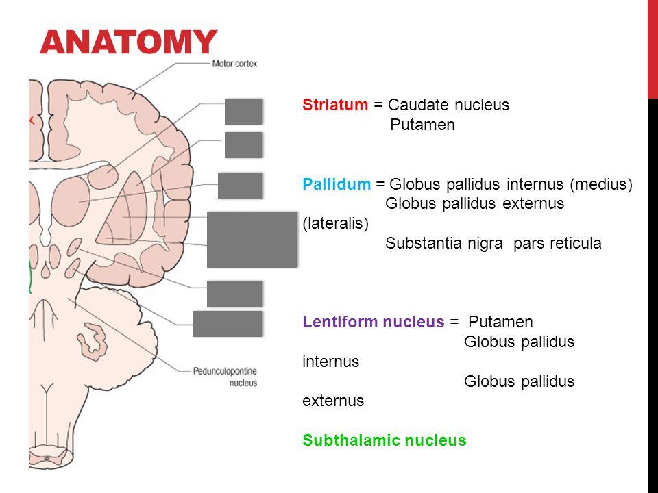 Anatomy Striatum = Caudate nucleus Putamen