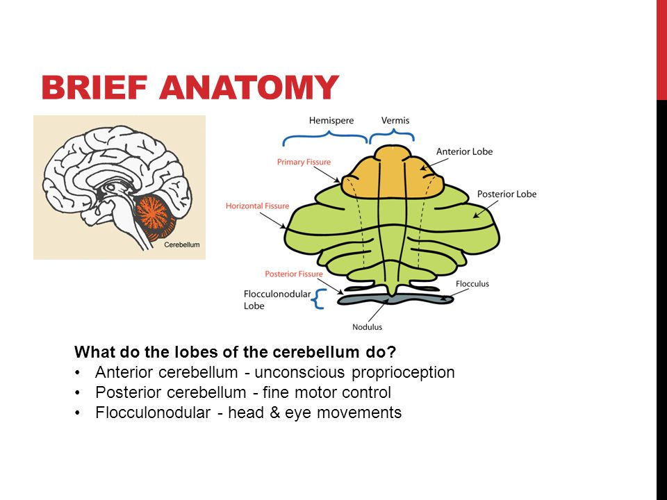 Brief anatomy What do the lobes of the cerebellum do