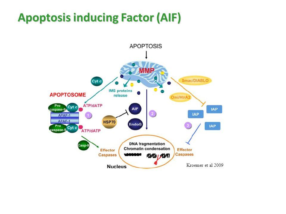 Apoptosis inducing Factor (AIF)