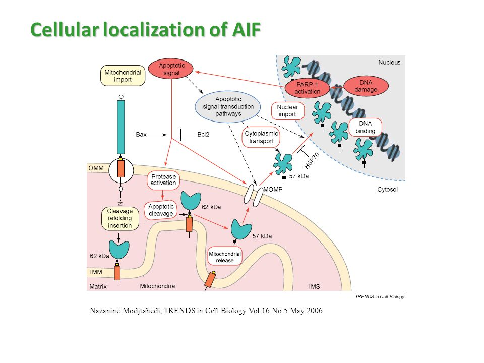 Cellular localization of AIF