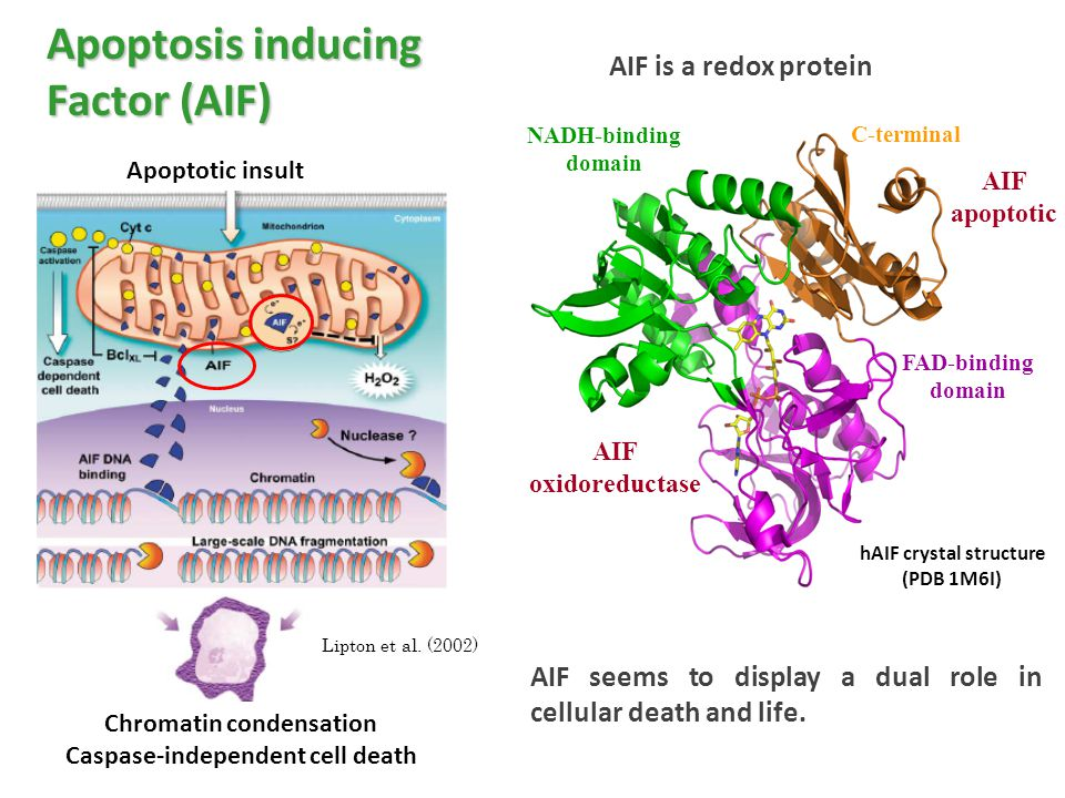 Apoptosis inducing Factor (AIF) AIF is a redox protein