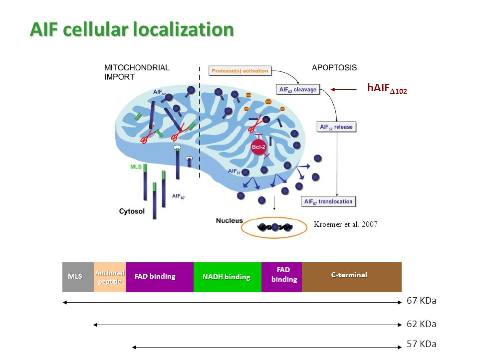 AIF cellular localization