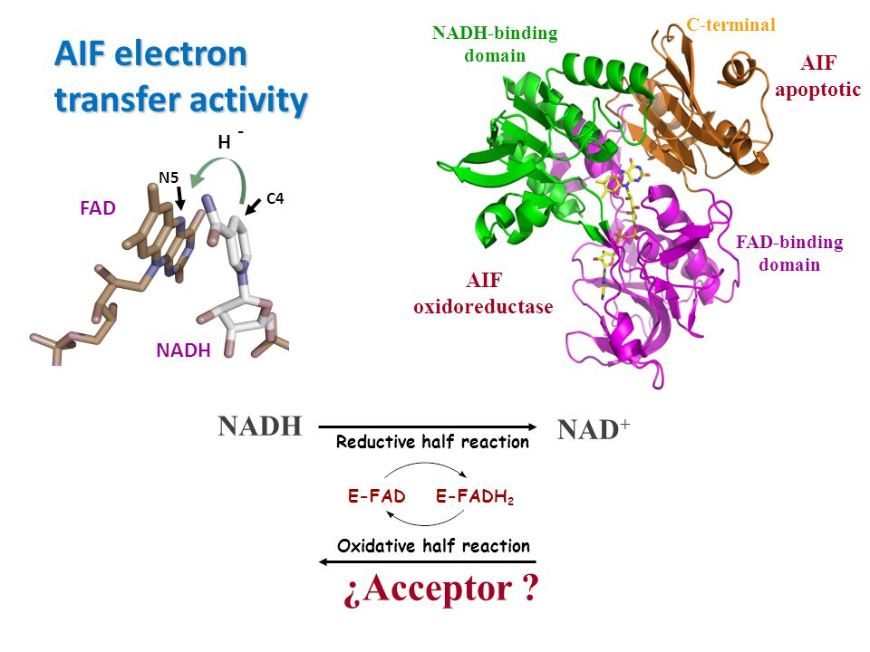 AIF electron transfer activity ¿Acceptor NADH NAD+ AIF apoptotic - H