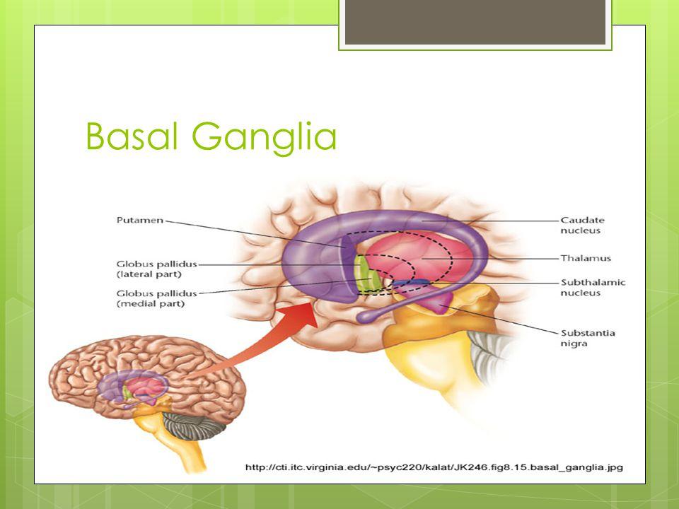 Basal Ganglia Caudate Putamen Globus Pallidus Thalamus