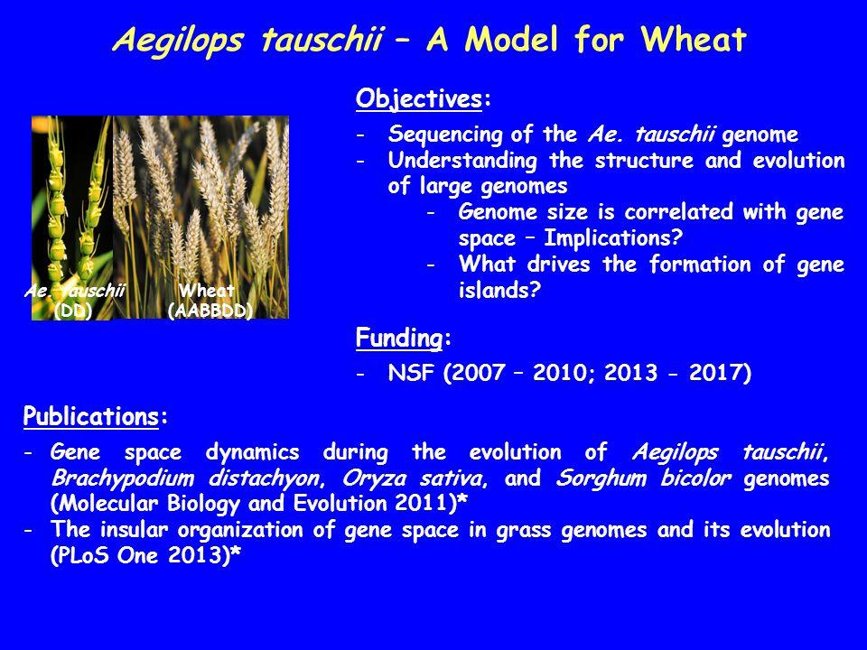 Aegilops tauschii – A Model for Wheat