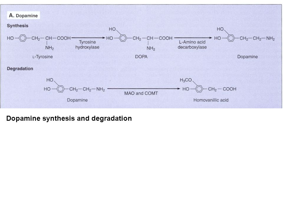 Dopamine synthesis and degradation
