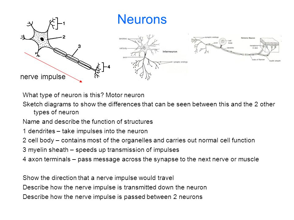 Neurons nerve impulse What type of neuron is this Motor neuron