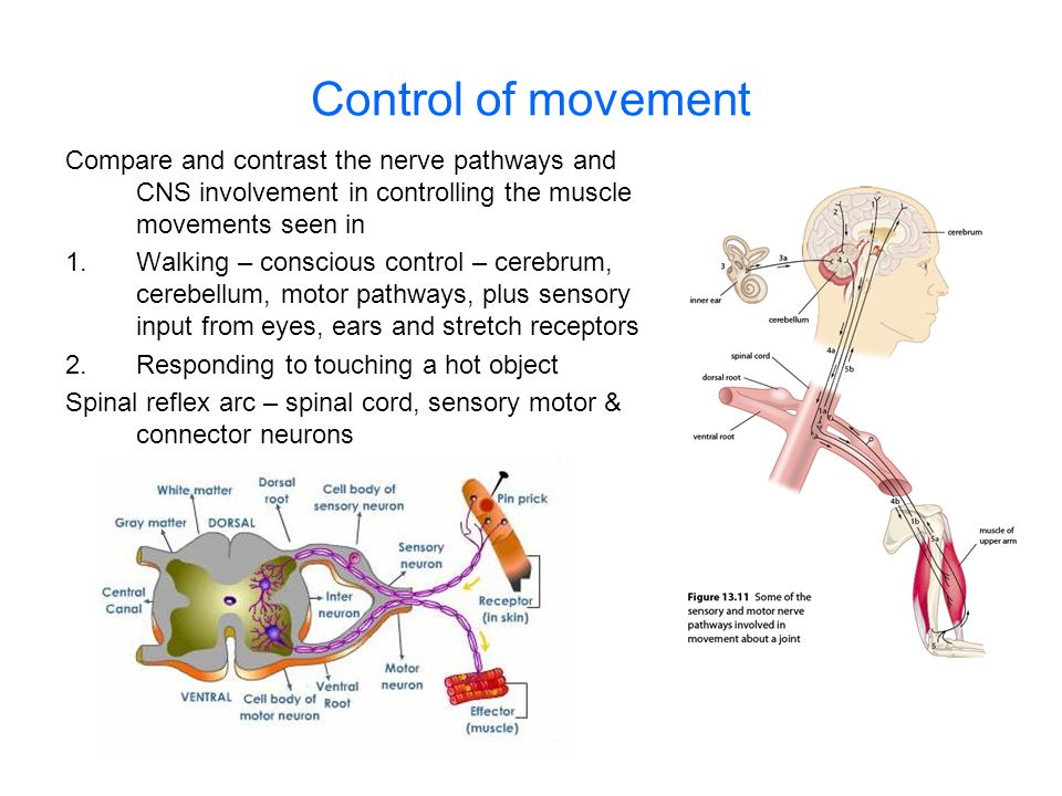 Control of movement Compare and contrast the nerve pathways and CNS involvement in controlling the muscle movements seen in.