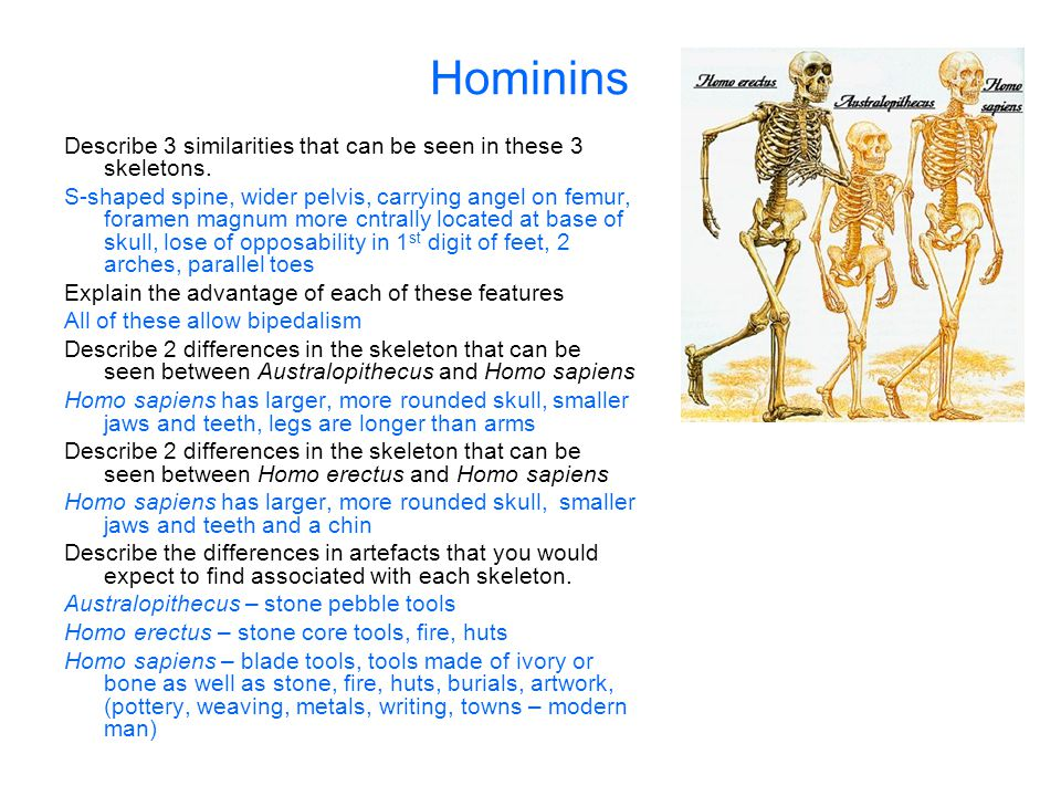 Hominins Describe 3 similarities that can be seen in these 3 skeletons.