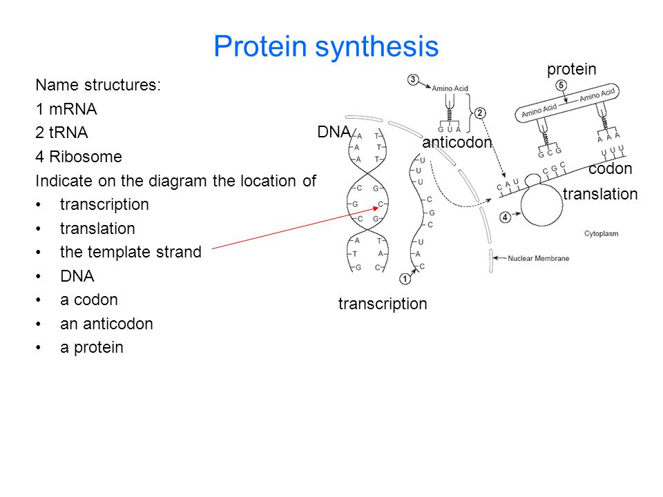 Protein synthesis protein Name structures: 1 mRNA 2 tRNA 4 Ribosome