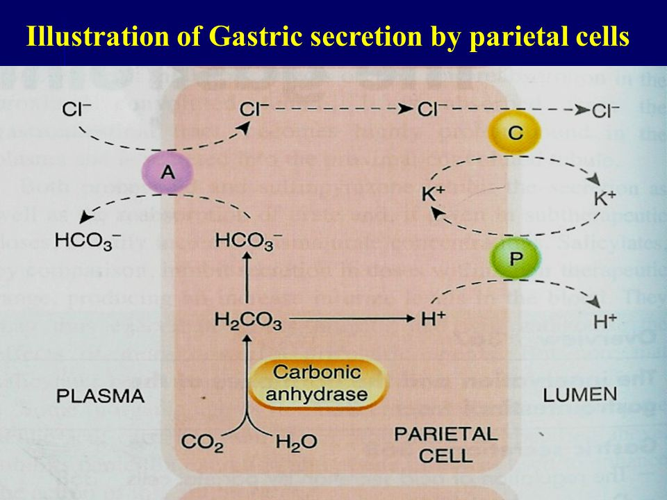Illustration of Gastric secretion by parietal cells