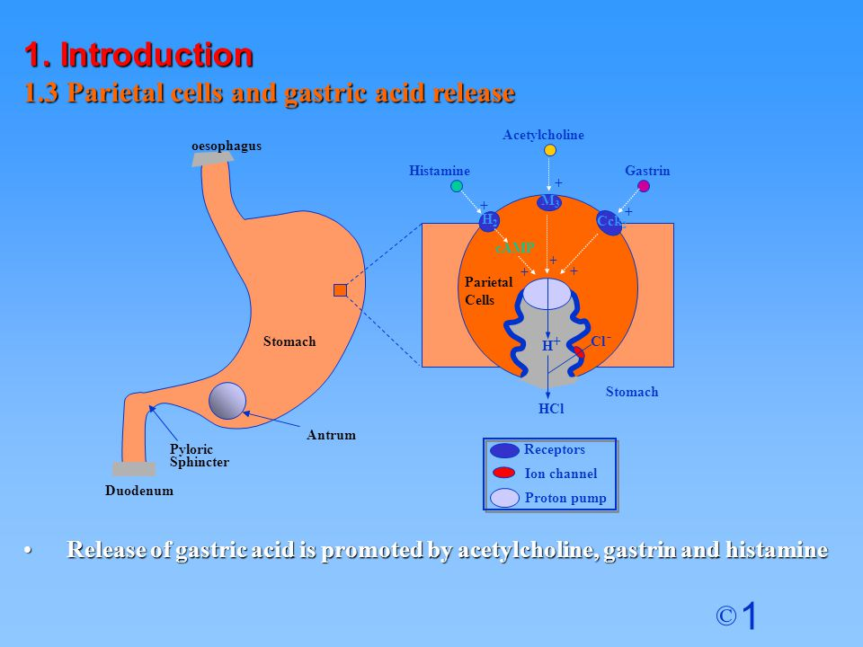 1. Introduction 1.3 Parietal cells and gastric acid release