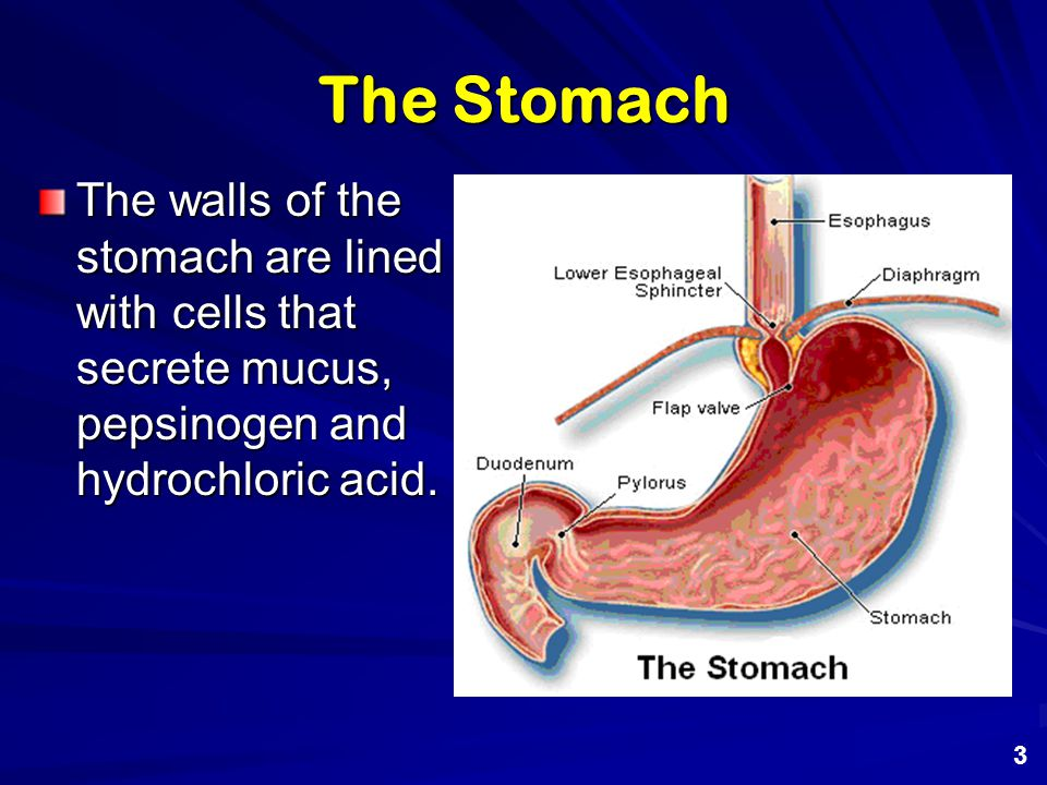 The Stomach The walls of the stomach are lined with cells that secrete mucus, pepsinogen and hydrochloric acid.