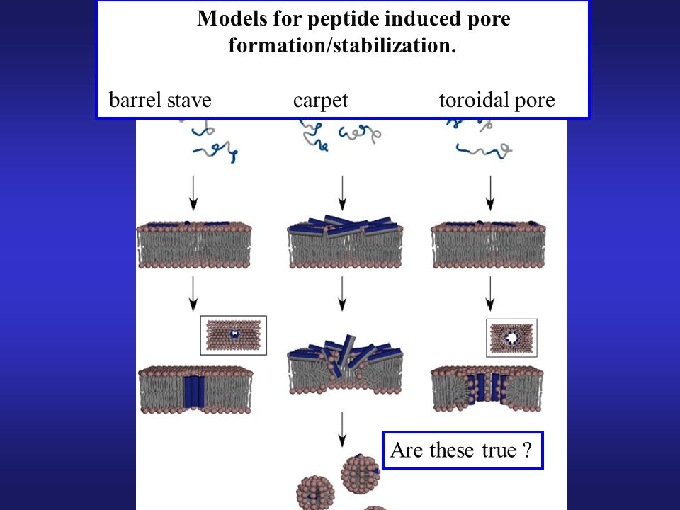 Models for peptide induced pore formation/stabilization.