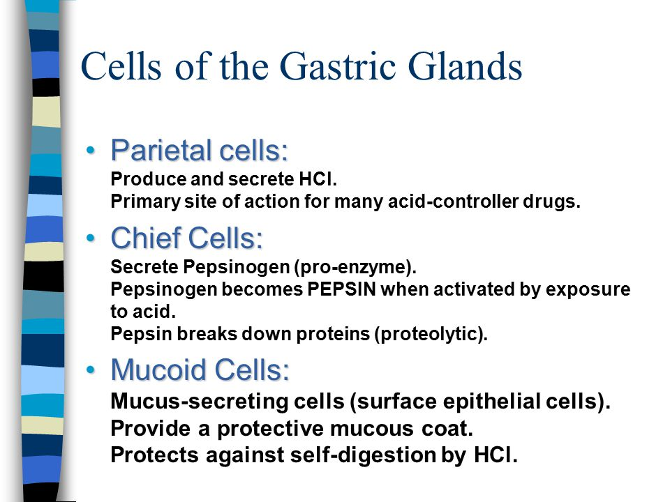 Cells of the Gastric Glands
