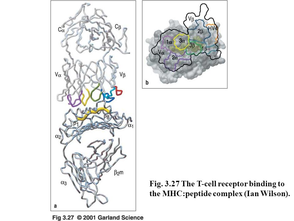 Fig. 3.27 The T-cell receptor binding to the MHC:peptide complex (Ian Wilson).