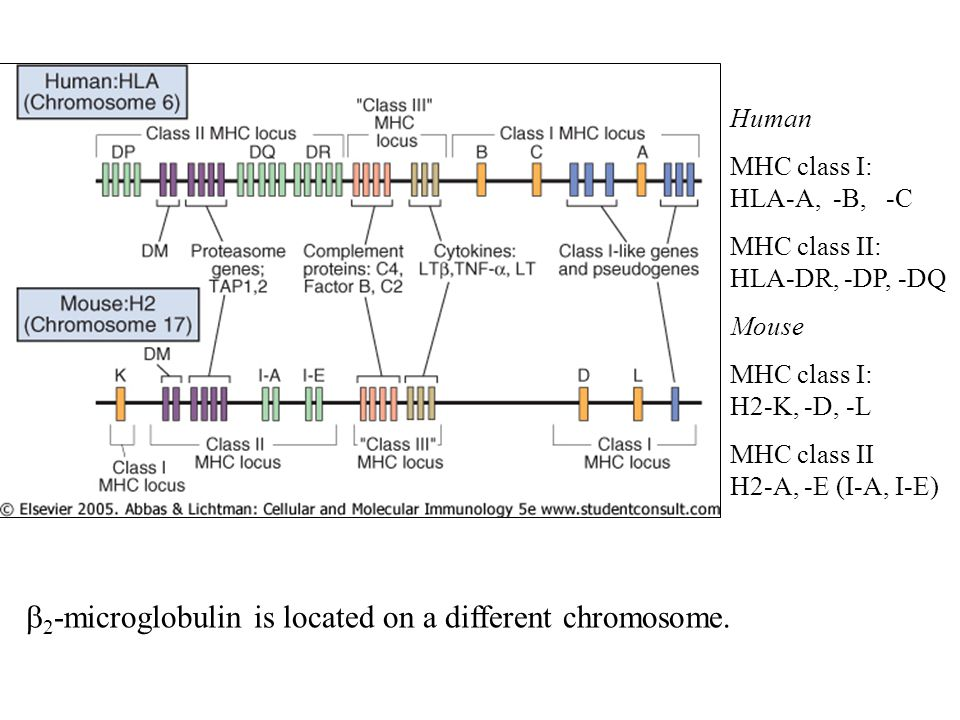 b2-microglobulin is located on a different chromosome.