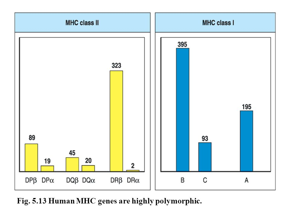 Fig. 5.13 Human MHC genes are highly polymorphic.