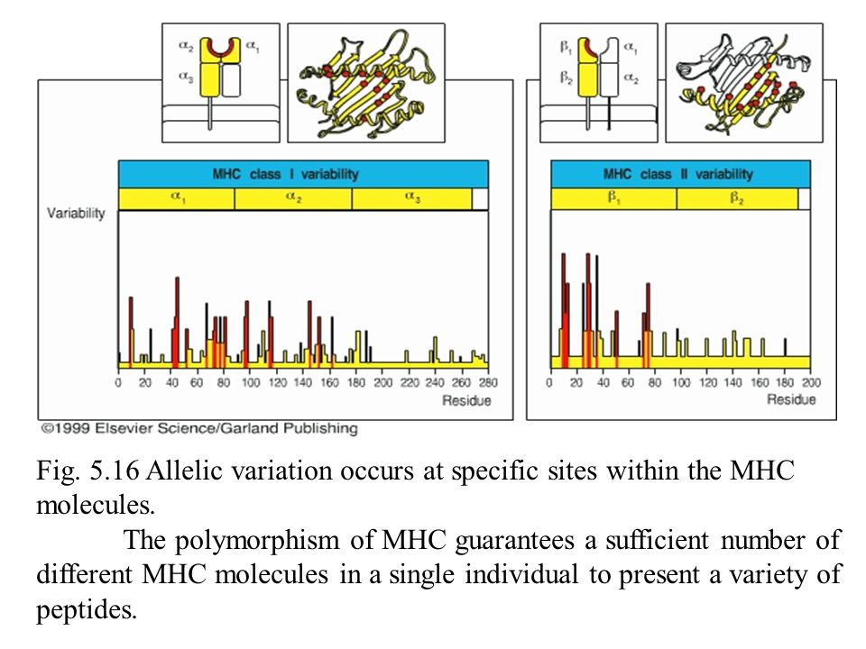 Fig. 5.16 Allelic variation occurs at specific sites within the MHC molecules.