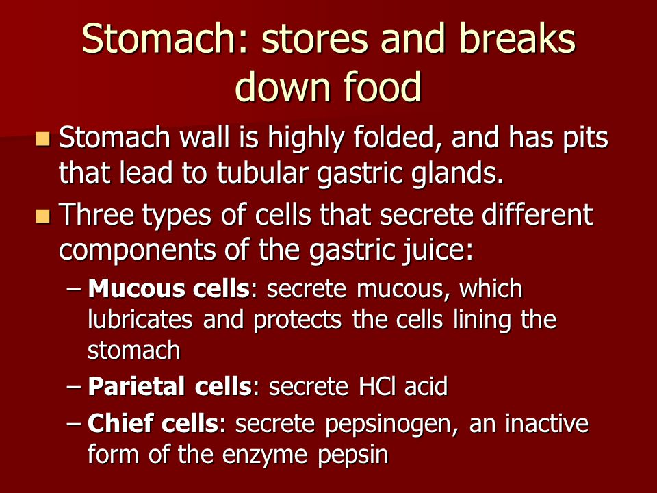 Stomach: stores and breaks down food