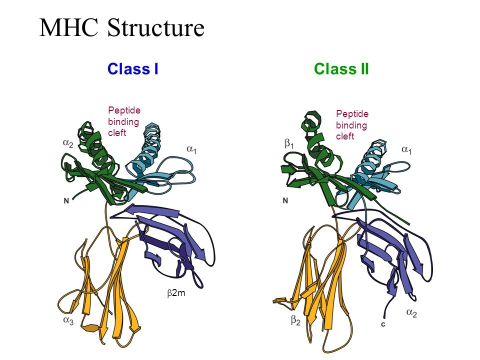 MHC Structure Class I b2m Class II Peptide binding cleft