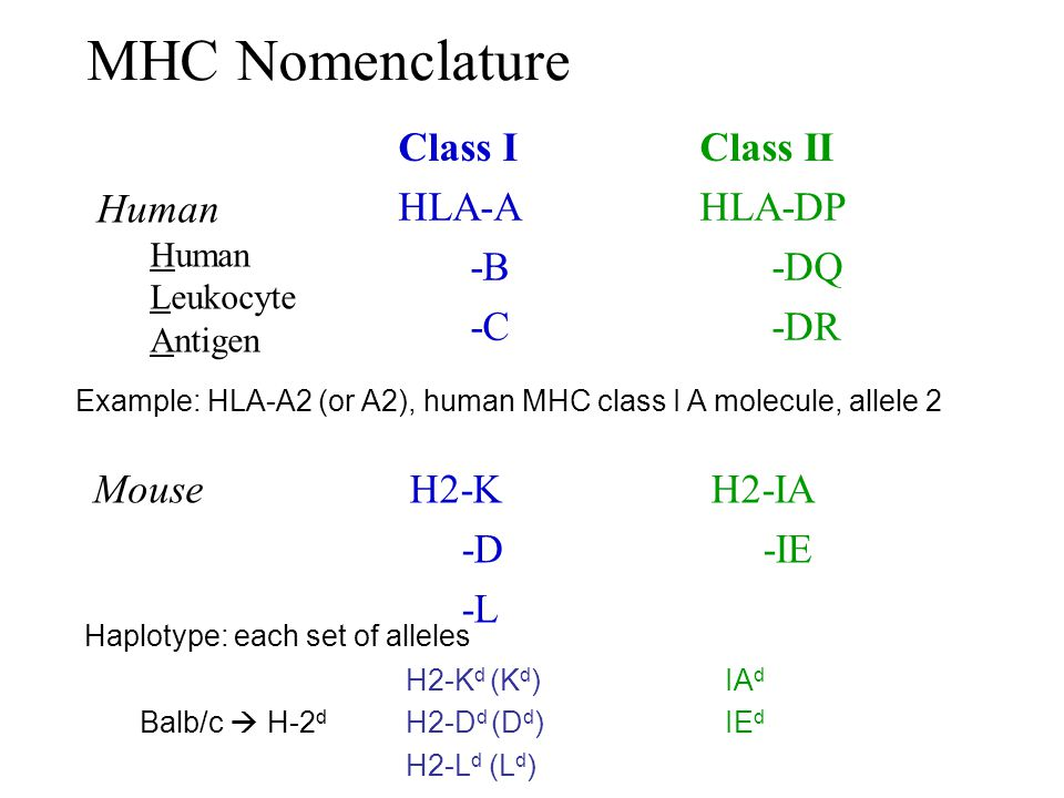 MHC Nomenclature Class I Class II HLA-A -B -C HLA-DP -DQ -DR Human
