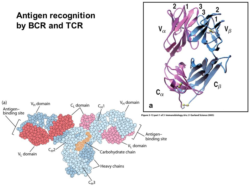 Antigen recognition by BCR and TCR